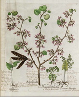 Cercis siliquastrum L. [as Arbor judae]