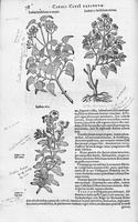Helianthemum apenninum (L.) Miller [as Ledon IIII]  (1601)