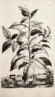 Phytolacca americana L. [as Blitum Americanum] [syn. Phytolacca decandra L.] (1696)