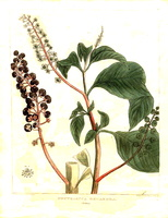 Phytolacca americana L. [as Phytolacca decandra L.] (1818)