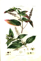Phytolacca americana L. [as Phytolacca decandra L.]  (1770-1777)