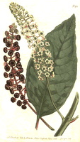 Phytolacca americana L. [as Phytolacca decandra L.] (1806)