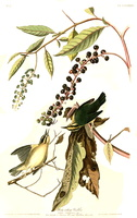 Phytolacca americana L. [as Phytolacca decandra L.] (1826-1838)