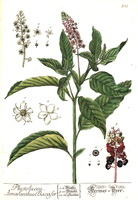 Phytolacca americana L. [as Phytolacca decandra L.] (1773)