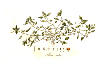 Stellaria media (L.) Vill. [as Alsine media L.]  (1775-1777)