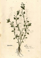 Stellaria media (L.) Vill. [as Alsine media L.] (1543)