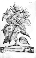 Mirabilis jalapa L. [as Jalappa minor purpurea](1696)