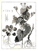 Alliaria petiolata (M. Bieb.) Cavara & Grande [as Alliaria](1788)