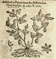 Aristolochia pistolochia L. [as Aristolochia polyrhizon ] (1581)
