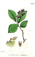 Ulmus minor Miller var. genuina [as Ulmus suberosa Moench var. genuina] (1868)