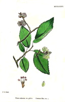Ulmus minor Miller var. glabra [as Ulmus suberosa Moench var. glabra]  - 02 (1868)