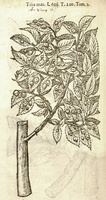 Ulmus minor Miller [as Tilia mas Lob] [syn. Ulmus suberosa Moench](1581)