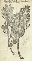 Arbutus unedo L. [as Arbutus] (1581)