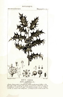 Ilex aquifolium L. Christ's thorn, Holly, Needle leaved Holly (1816-1830)
