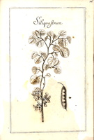 Cercis siliquastrum L. [as Siliquastrum Riv.] (1690-1777)