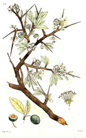 Prunus spinosa (1807)