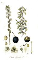 Prunus spinosa L. (1801- 1802)