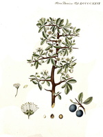 Prunus spinosa L. (1761 - 1883)