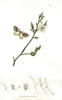 Prunus spinosa L. (1823-1840)