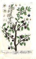 Prunus spinosa L.(1765)