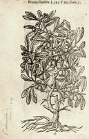Prunus spinosa L. [as Prunus sylvestris]  (1581)