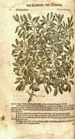 Prunus spinosa L. [as Prunus sylvestris]  (1563)