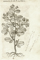 Amelanchier ovalis Medik. [as Amelanchier]  (1581)