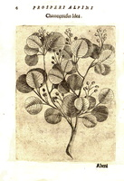 Amelanchier ovalis Medik. subsp. cretica [as Chamecerasus Idea]  (1629)