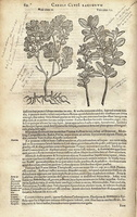 Amelanchier ovalis Medik. [as Vitis idaea III]  (1601)