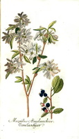 Amelanchier ovalis Medik. [as Mespilus amelanchier L.] (1793)