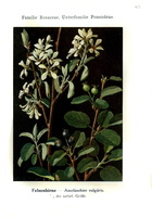 Amelanchier ovalis Medik. [as Amelanchier vulgaris Moench]  (1839)