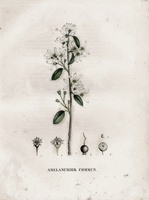 Amelanchier ovalis Medik. [as Mespilus amelanchier L.]  (1829)