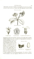 Pittosporum tobira (Thunb.) Aiton f.