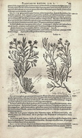 Cistus monspeliensis L. [as Ledon V]  (1601)