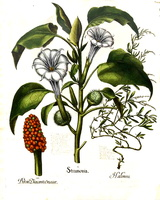 Atriplex portulacoides L. [as Halimus] (1620)