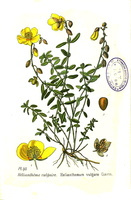 Helianthemum nummularium (Cav.) Losa & Rivas Goday [as Helianthemum vulgare Gaertn.]