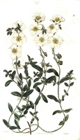 Helianthemum apenninum (L.) Miller [as Helianthemum confusum Sweet]  (1825 - 1830)