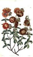 Helianthemum apenninum (L.) Miller var. multiplex [as Helianthemum hyssopifolium Ten. var. multiplex]  (1825 - 1830 )