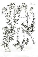 Helianthemum apenninum (L.) Miller [as Cistus pilosus All.]  (1785)