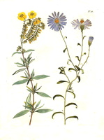 Helianthemum lavandulifolium Desf. [as Cistus lavandulifolius Lam.]  (1796)