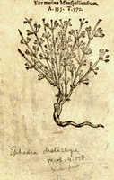 Ephedra distachya L. [as Uva marina monspelliensium]  (1581)