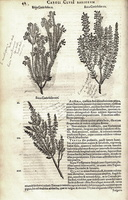 Erica multiflora L. [as Erica Coris folio II]  (1601)