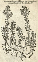 Sedum album L. [as Sedum medium teretifolium]  (1581)