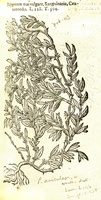 Polygonum aviculare L. [as Polygonum mas vulgare]  (1581)