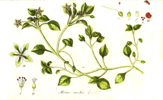 Stellaria media (L.) Vill. [as Alsine media L.]  (1796 - 1798)