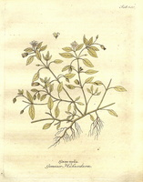 Stellaria media (L.) Vill. [as Alsine media L.]  (1806)