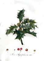 Ilex aquifolium L. Christ's thorn, Holly, Needle leaved Holly (1844)