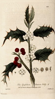 Ilex aquifolium L. Christ's thorn, Holly, Needle leaved Holly (1934 - 1843)