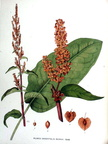Amples: Rumex patientia