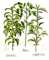 Laurus nobilis L. [as Laurus]  (1626)